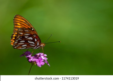 An orange, white and black gulf fritillary (Agraulis vanillae) butterfly perched on a pink lantana bloom with a soft green background.