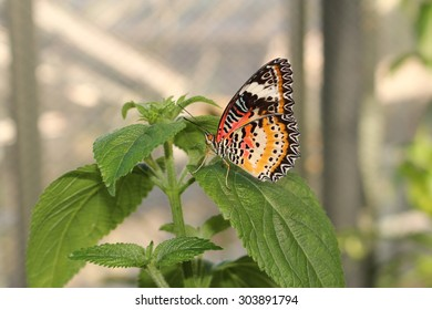 "Orange, white and black ""Leopard Lacewing"" butterfly in Innsbruck, Austria. Its scientific name is Cethosia Cyane, native from India to China. (No Photoshop, see my other butterfly images)"
