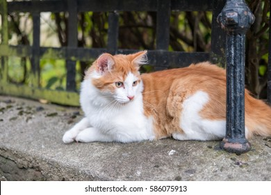 Orange and White Cat in the Grass