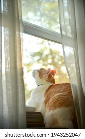 Orange and White Cat Sitting in the Window with Sheer Curtains