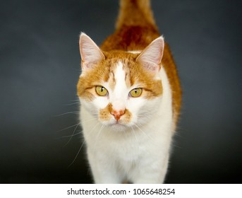 Orange and white cat walking towards the camera