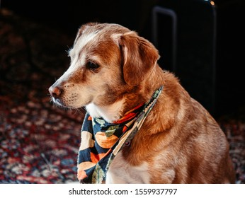 Orange and white dog with a fall themed bandanna.