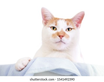 An orange and white domestic shorthair cat relaxing on a blanket