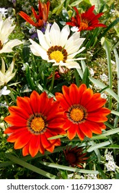 Orange and white Gazania Daybreak flowers