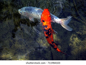 Orange and white koi fish in pond