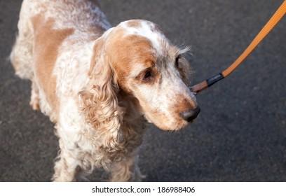 Orange and white roan elderly English Cocker Spaniel being walked on an orange leash