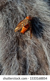 The orange and white striped body of a regal moth is visible at is sits contently on a hairy possum pelt in Missouri. Bokeh effect.