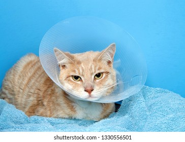 orange and white tabby cat wearing an elizabethian collar to prevent self injury after surgery. Also called the cone of shame.