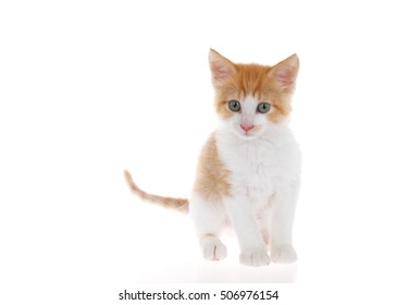 Orange and white tabby kitten standing on slightly reflective surface looking slightly to viewers left. Isolated on white background. Head slightly tilted as if curious, listening