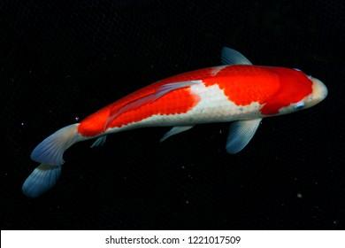 orange and white,Kohaku Koi