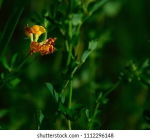 orange wildflower close up