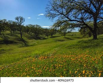orange wildflowers and mature oaks along lush nature path