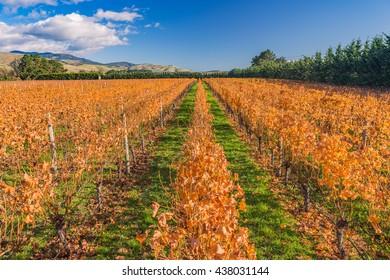 Orange winter vineyard in Martinborough, one of the main wine-making regions of New Zealand