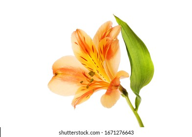 Orange and yellow alstroemeria flower and leaf isolated against white