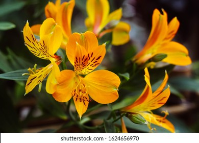 Orange and yellow Alstroemeria or Peruvian lily or Inca lily