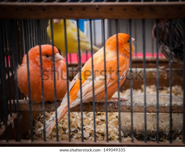 Orange and yellow canaries in cage at bird market in Paris. Shadowed angles.