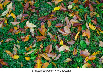 Orange and yellow cherry tree leaves on the autumn green grass.