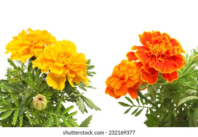 Orange  and yellow color marigolds isolated on white