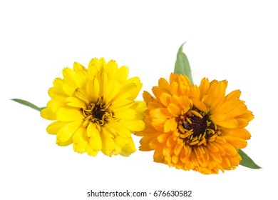 Orange and Yellow Colored Calendula Flowers Isolated on White Background.