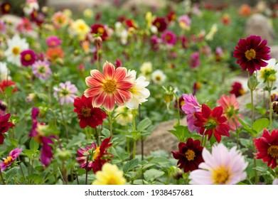 orange yellow dahlia in full bloom with colorful flower bokehs, colorful dahlia flower garden