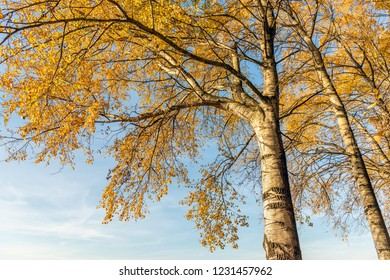 Orange yellow discolored leaves on the branches of birch trees against a blue sky. It is a sunny day in the Dutch fall season now.
