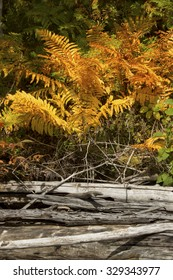 Orange and yellow foliage of cinnamon ferns with driftwood on the shore of Flagstaff Lake in northwestern Maine in autumn.