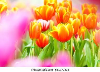 Orange yellow fresh tulip in garden close up