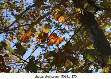 Orange, Yellow, And Green Fall Colored Leaves Hanging From The Branches Of A Sycamore Tree With Blue Sky In Background During The Season Of Fall On A Farm In The Mountains Of South West Virginia