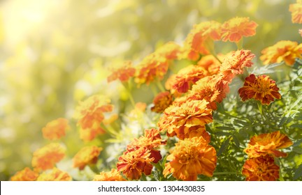 Orange and yellow Marigolds in their autumn glory bathed with  the beauty and warmth of the rising sun