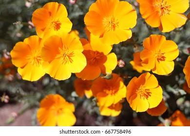 Orange yellow Mexican poppy bush