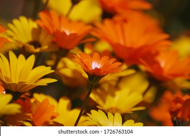 Orange and yellow Namaqualand daisies - an African species of plants native to southern Africa.