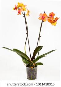 Orange Yellow Orchid