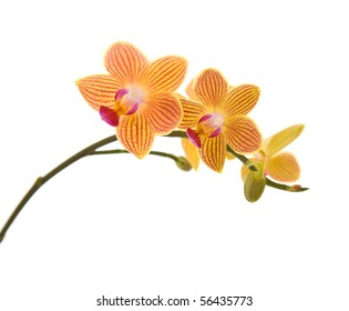 orange; yellow and pink stripy phalaenopsis orchid isolated on white