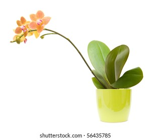 orange, yellow and pink stripy phalaenopsis orchid in bright green pot, isolated on white