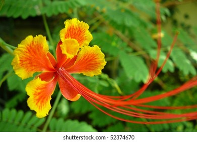 Orange and Yellow Poinciana Flower