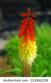Orange and yellow Red Hot Poker flowers (Kniphofia)