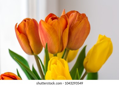 Orange and yellow Tulips flowers with white background