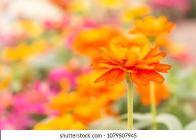 Orange Zinia elegans and blur color flower background