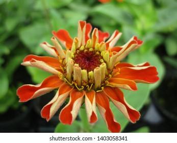 Orange Zinnia Flower Close Up May 2019
