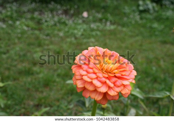 Orange zinnia flower in garden