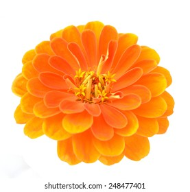 orange zinnia flower isolated on white background