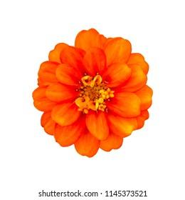 Orange Zinnia. Orange flower on white background. Isolated