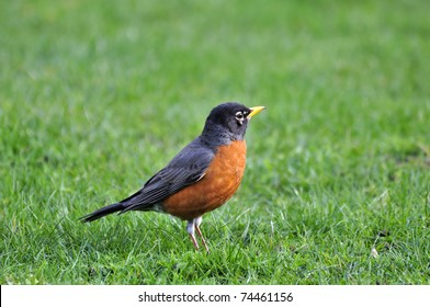 Orange-bellied black bird on the lawn