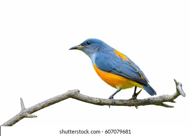 Orange-bellied Flowerpecker or Dicaeum trigonostigma, beautiful bird isolated perching on branch with white background, Thailand.