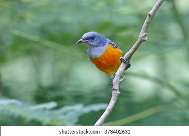 Orange-bellied Flowerpecker Dicaeum trigonostigma Male Birds of Thailand