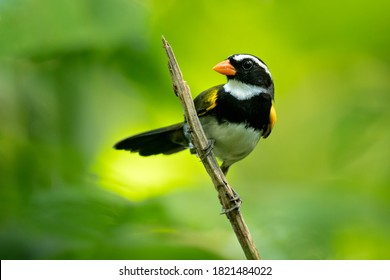 The orange-billed sparrow (Arremon aurantiirostris) is a species of bird in the family Passerellidae. In Central America it is found in Belize, Costa Rica, Guatemala, Honduras, Mexico, Nicaragua