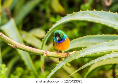 Orange-breasted sunbird (Anthobaphes violacea) perched on red aloe branch