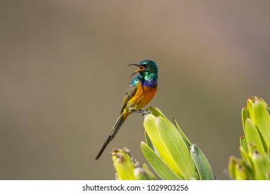Orange-breasted Sunbird on green plant