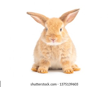 Orange-brown cute baby rabbit isolated on white background. Lovely young  bunny sitting.