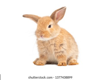 Orange-brown cute baby rabbit isolated on white background. Lovely rabbit sitting.